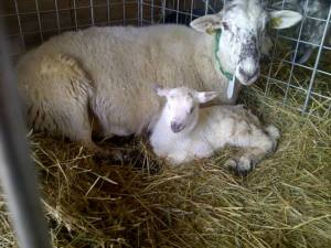 Proud mum Moxie with her ewe lamb, Sandy Bay
